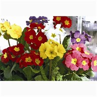 Polyanthus F1 Crescendo Mixed 6 Pack Boxed Bedding