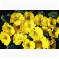 Primrose Golden Yellow 6 Pack Boxed Bedding