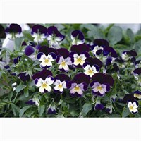 Viola F1 Blackberry Cream 6 Pack Boxed Bedding