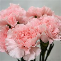 Carnation (x 8 stems) - Pink