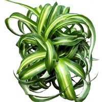 Chlorophytum Variegated (Spider Plant) in a 12cm Pot