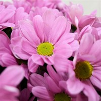 Chrysanthemum Spray (x 5 stems) - Pink