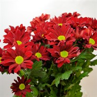 Chrysanthemum Spray (x 5 stems) - Red