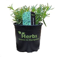 French Tarragon 1 Litre Pot