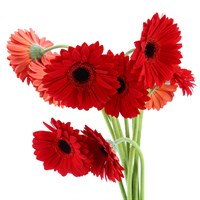 Geberas (x 10 Stems) - Red