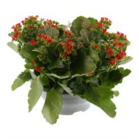 Kalanchoe (Red) With Gold Glitter Christmas Houseplant - 23cm