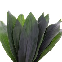 Greenery Aspidistra (x 1 Bunch)