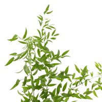 Greenery Soft Ruscus (x 1 Bunch)