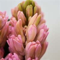 Hyacinth (x 5 stems) - Pink