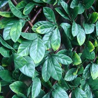 WitchHedge Laurel Extendable Hedging 1m x 2m (LEXTHD)