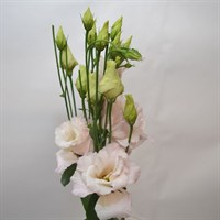 Lisianthus (x 4 stems) - Pink