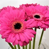 Mini-Gerbera (x 8 stems) - Cerise