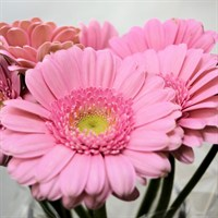 Mini-Gerbera (x 8 stems) - Pink