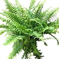 Nephrolepis exaltata (Boston Fern) in a 17cm Pot