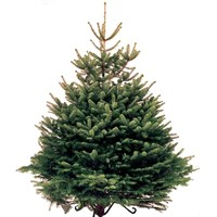 Norway Spruce 6-7ft (175-200cm) Real Cut Christmas Tree