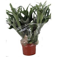 Platycerium bifurcatum (Staghorn Fern) Houseplant in a 26cm Pot