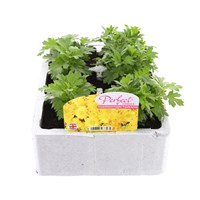 Chrysanthemum Poppins Prelude Apricot Super 6 Pack Boxed Bedding