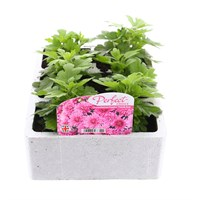Chrysanthemum Poppins Prelude Rose Super 6 Pack Boxed Bedding