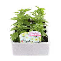 Chrysanthemum Poppins Prelude White Super 6 Pack Boxed Bedding