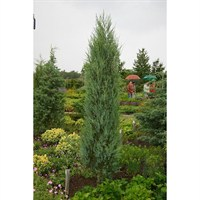 Juniper Blue Arrow - 3Lt Pot (Dwarf Conifer)