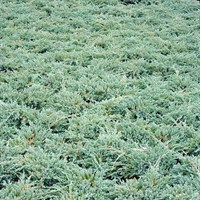 Juniperus Blue Carpet - 3Lt Pot (Dwarf Conifer)