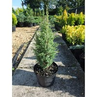 Juniperus Communis Compressa - 3Lt Pot (Dwarf Conifer)
