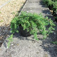 Juniperus Conferta Blue Pacific - 3Lt Pot (Dwarf Conifer)