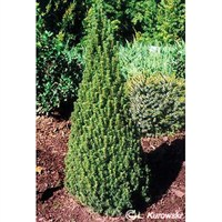 Picea Gluaca Albertiana Zuckerhut - 3Lt Pot (Dwarf Conifer)