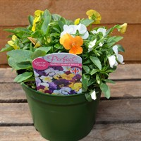 Viola F1 Hybrid Mixed 2L Pot Bedding