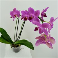 Orchid Pink (Phalaenopsis) Houseplant 12cm Pot