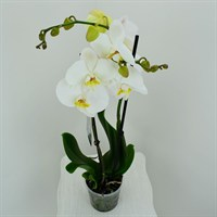 Phaloenopsis Orchid Double Stem - White 60cm (12cm Pot)