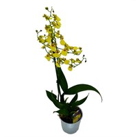 Oncidium Orchid Double Stem - Yellow 60cm (12cm Pot)