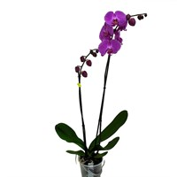 Phaloenopsis Orchid Double Stem- Dark Pink 90cm (15cm Pot)