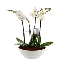 Unwrapped Phalaenopsis Orchid White (x2) Double Stem In White Plastic Boat - 60 to 70cm