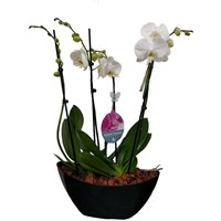 Unwrapped Phalaenopsis Orchid White (x2) Double Stem In Black Plastic Boat - 60 to 70cm