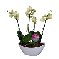 Unwrapped Phalaenopsis Orchid Yellow (x2) Double Stem In White Plastic Boat - 60 to 70cm