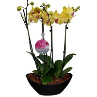 Unwrapped Phalaenopsis Orchid Yellow (x2) Double Stem In Black Plastic Boat - 60 to 70cm