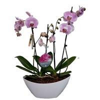 Unwrapped Phalaenopsis Orchid Pink (x2) Double Stem In White Plastic Boat - 60 to 70cm