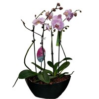 Unwrapped Phalaenopsis Orchid Pink (x2) Double Stem In Black Plastic Boat - 60 to 70cm