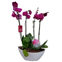 Unwrapped Phalaenopsis Orchid Dark Pink (x2) Double Stem In White Plastic Boat - 60 to 70cm