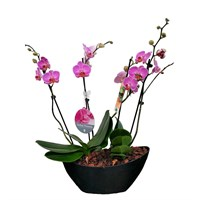Unwrapped Phalaenopsis Orchid Deak Pink (x2) Double Stem In Black Plastic Boat - 60 to 70cm