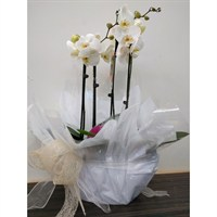 Wrapped Phalaenopsis Orchid White (x2) Double Stem In White Plastic Boat - 60 to 70cm