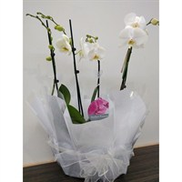 Wrapped Phalaenopsis Orchid White (x2) Double Stem In Black Plastic Boat - 60 to 70cm
