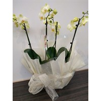 Wrapped Phalaenopsis Orchid Yellow (x2) Double Stem In White Plastic Boat - 60 to 70cm