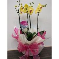 Wrapped Phalaenopsis Orchid Yellow (x2) Double Stem In Black Plastic Boat - 60 to 70cm