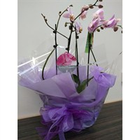 Wrapped Phalaenopsis Orchid Pink (x2) Double Stem In White Plastic Boat Gift Wraapped - 60 to 70cm
