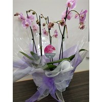 Wrapped Phalaenopsis Orchid Pink (x2) Double Stem In Black Plastic Boat - 60 to 70cm