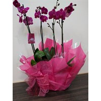 Wrapped Phalaenopsis Orchid Dark Pink (x2) Double Stem In White Plastic Boat - 60 to 70cm