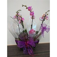 Wrapped Phalaenopsis Orchid Dark Pink (x2) Double Stem In Black Plastic Boat - 60 to 70cm