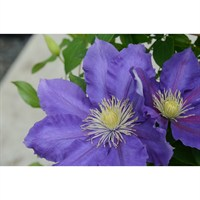 Clematis Chevalier (Evipo040) 3 Litre Climber Plant